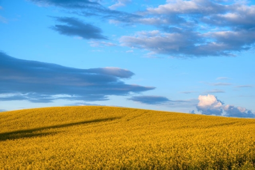 Canola on the hill