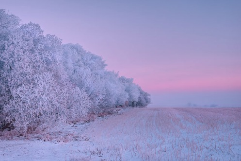 willows, trees, winter, hoar frost, frost, snow, Alberta, prairie, landscape,