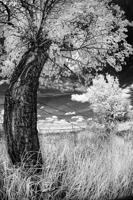infrared, black and white, landscape, trees, grass, summer, Alberta, Dan Jurak, black and white, surreal, fine art, fineart,