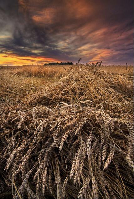 barley, harvest, landscape, Dan Jurak, farm, rural, wheat, crops, autumn, sunset, dramatic