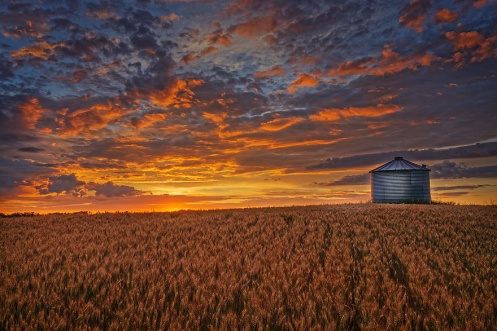 prairie, harvest, sunrise, barley, wheat, farm, agriculture, Alberta,Dan Jurak, golden, yellows, golds, horizontal, landscape,