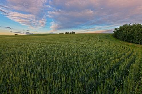 landscape, learning photography, prairie, farm, horizontal, agriculture, summer, sunset, dusk, dan jurak, Alberta, wheat, barley, clouds,